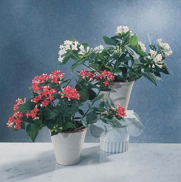Комнатные цветы бувардия